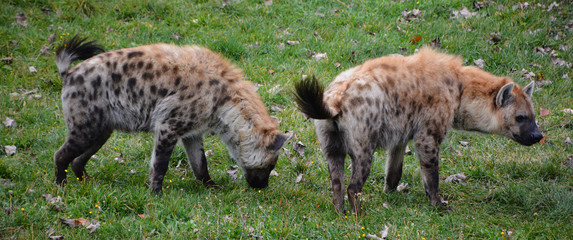 Deurstickers Hyena Spotted hyena (Crocuta crocuta), also known as the laughing hyena,is a species of hyena, currently classed as the sole member of the genus Crocuta, native to Sub-Saharan Africa.