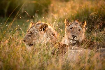 Lions in the morning light, Masai Mara Wall mural