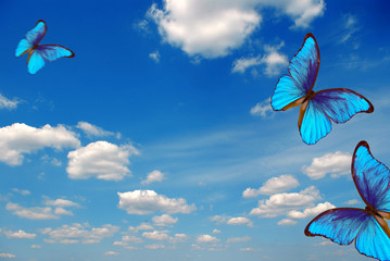 Foto op Aluminium Hemel bright butterflies flying in the blue sky with clouds. flying blue butterflies. colorful morpho butterflies. copy spaces
