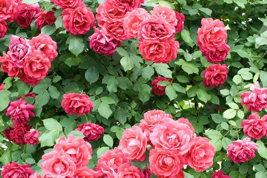 Close up shot of a red rose bush