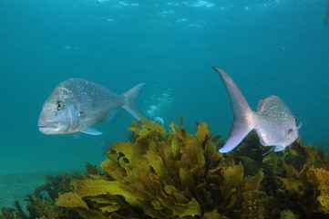Two australasian snappers Pagrus auratus swimming opposite directions above kelp brown sea weeds.