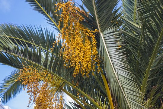 Closeup of babassu palm under a blue sky and sunlight at daytime
