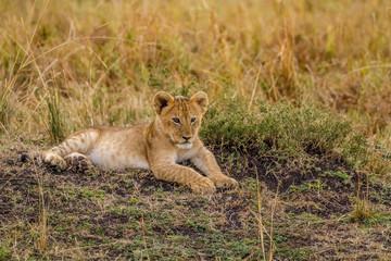 Poster Leeuw Lion cub relaxing on field