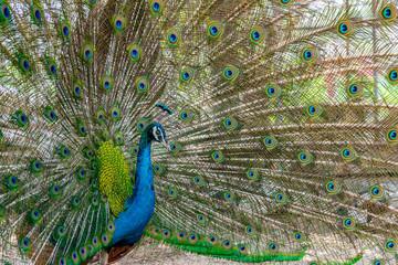 Fotobehang Pauw Peacock showing it beautiful feather