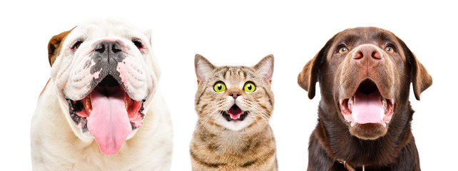 Fotorolgordijn Kat Portrait of funny English Bulldog, cat Scottish Straight and Labrador, closeup, isolated on a white background