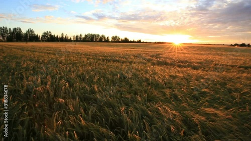 Fototapete Bright sunset sky with cirrus over a wheat field. Rural summer landscape. Beauty nature, agriculture and seasonal harvest time.