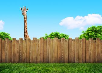 curious neighbor behind backyard fence