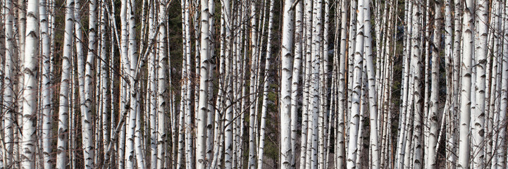 Many Birches as Background