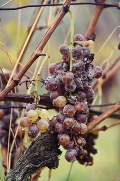 Grapes of white botrytised - Weisse Traube mit Botrytis