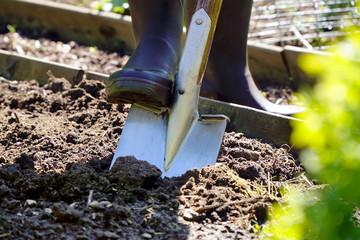 Fototapeta Gardener in a garden is digging a bed with spade on a sunny summer da
