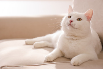 Cute white cat on sofa at home