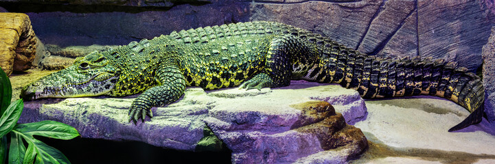 Poster Crocodile Krokodil Panorama