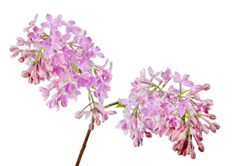 Wall Murals Lilac light pink lilac flowers isolated on white