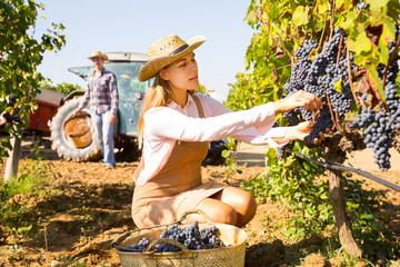 Female gathering harvest of purple grapes Fototapete