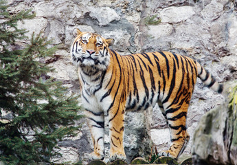 Siberian tiger.  This is a predator from the cat family, which is one of the main representatives of the Panther genus.