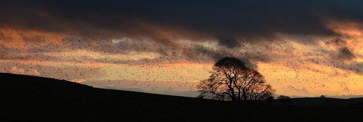 Fototapeta Silhouette Flock Of Birds Flying Over Field Against Sky During Sunset