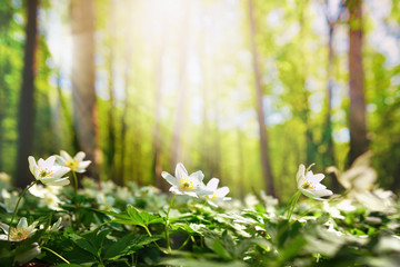 Papiers peints Pistache Beautiful white flowers of anemones in spring in a forest close-up in sunlight in nature. Spring forest landscape with flowering primroses.