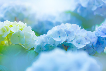 Zelfklevend Fotobehang Hydrangea アジサイの花