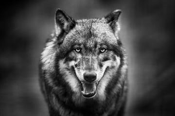 Aluminium Prints Wolf Scary dark gray wolf (Canis lupus)