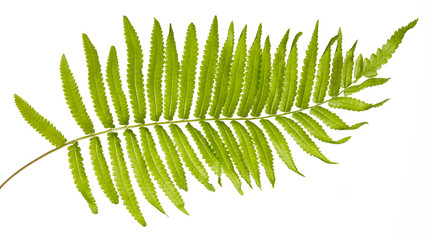 Adiantum caudatum fern green leaves( Tailed maidenhair fern, Walking maidenhair fern)isolated on white background,with clipping path.