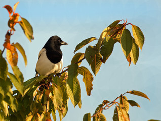 Magpie (pica pica), perched on a leaf filled branch with a natural pale blue sky background lit by natural sunlight