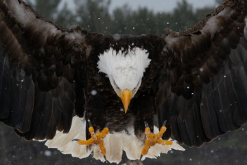 Photo sur Plexiglas Aigle bald eagle