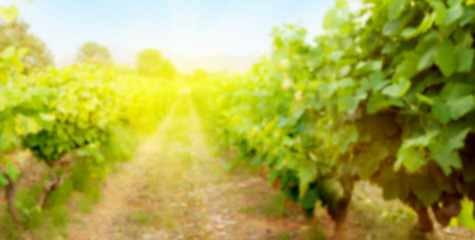 Blurred backdrop with sunny landscape of vineyard