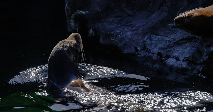 Sea Lion Swimming In Lake