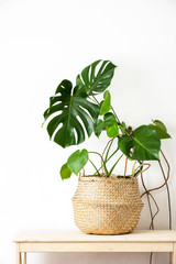 Monstera home potted plant front view, home gardening concept
