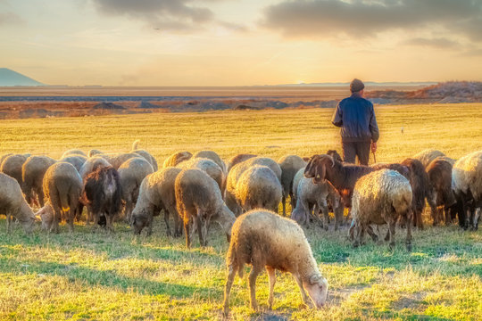 sheep and shepherd at sunset