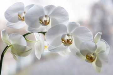 Foto op Plexiglas Orchidee Branch of blooming white orchid closeup