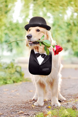 Ful llength picture of golden retriever in tuxedo and hat