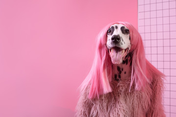 Adorable dalmatian lady dog in pink wig on pink background. Fashion party diva. Copy Space