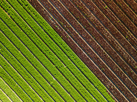 Aerial view of a field of lettuces in Spain. Oak leaf  and green lettuce