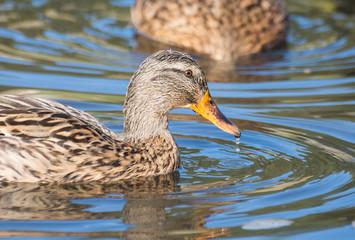 photos of wildlife, waterfowl and various Ducks