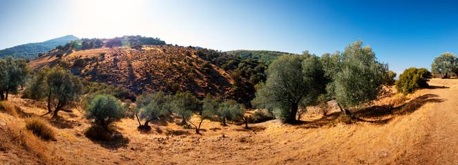 In de dag Olijfboom Olive trees in the field.