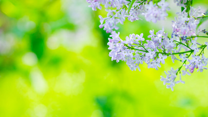 Photo sur Toile Lilac Spring branch of blossoming lilac. Lilac flowers bunch over blurred background. Purple lilac flower with blurred green leaves. Valentine's day. Copy space