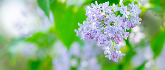 Spoed Fotobehang Lilac Spring branch of blossoming lilac. Lilac flowers bunch over blurred background. Purple lilac flower with blurred green leaves. Valentine's day. Copy space