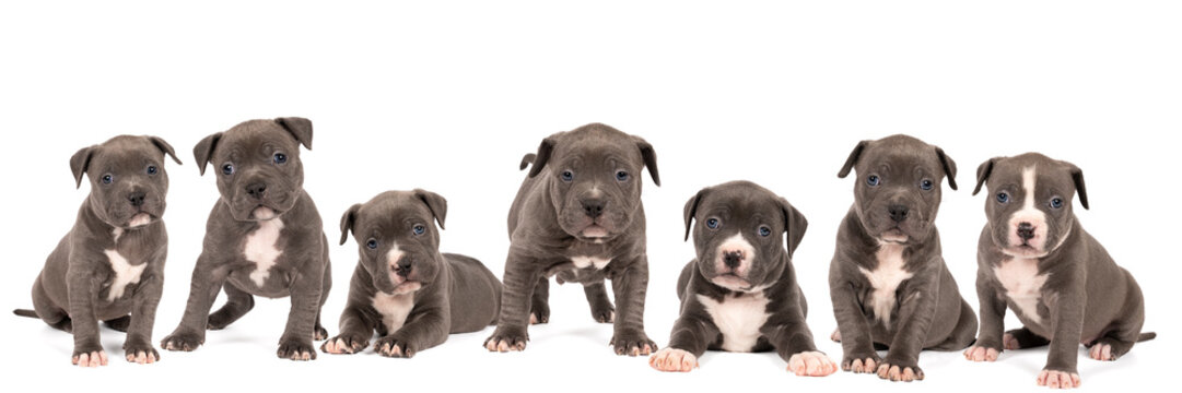 Panorama of a group of purebred American Bully or Bulldog puppies, siblings with blue and white fur isolated on a white background