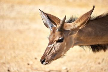 Türaufkleber Antilope v