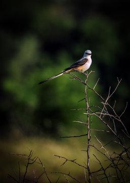 Male Scissor-Tailed Flycatcher