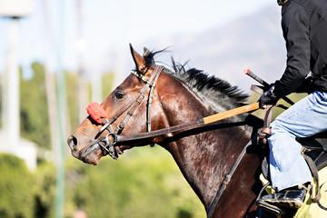 Fototapeta racehorse headshot