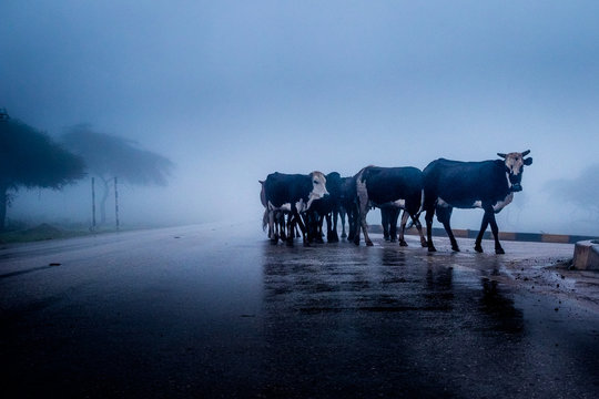 Cows Standing On Road During Foggy Weather