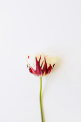 One tulip flower on white background. Flat lay, top view minimal floral composition.