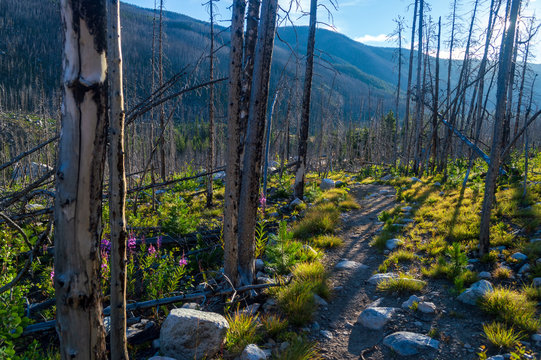 A hiking trail through burned trees in the Custer National Forest, Montana, USA