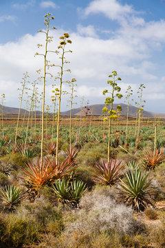 Agave, Piteras, Fuerteventura
