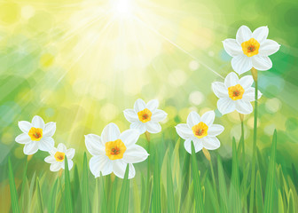 Vector daffodil flowers. Spring  background.