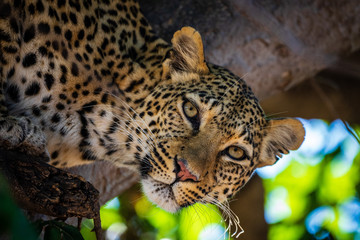 Printed kitchen splashbacks Leopard Low Angle Portrait Of Leopard On Tree In Forest