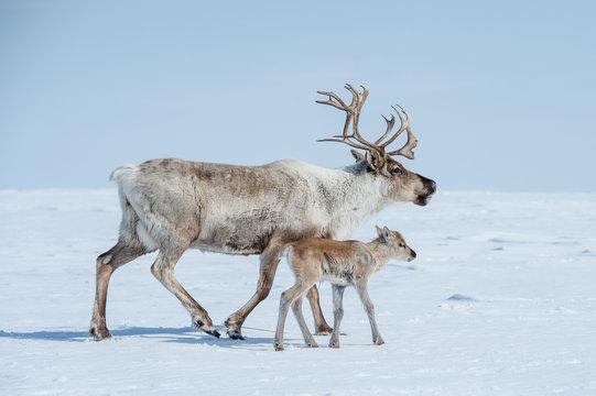 reindeer in the spring, female reindeer with offspring