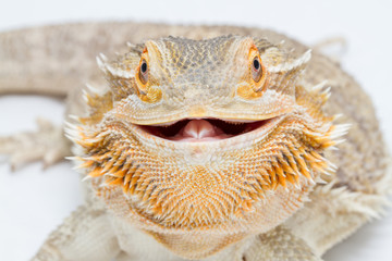 Close-Up Portrait Of Bearded Dragon